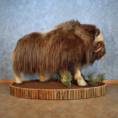 Greenland Muskox Life-Size Mount For Sale #15555 @ The Taxidermy Store