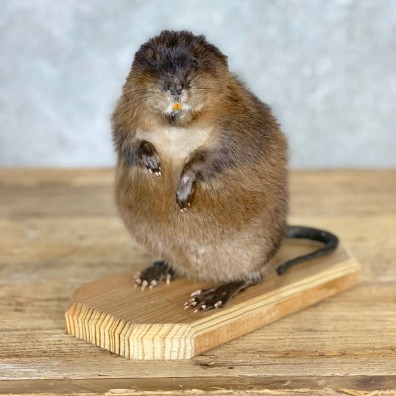 Muskrat Life Size Taxidermy Mount #21699 For Sale @ The Taxidermy Store