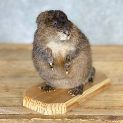 Muskrat Life Size Taxidermy Mount #21701 For Sale @ The Taxidermy Store