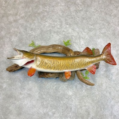 Musky Taxidermy Fish Mount For Sale #21785 @ The Taxidermy Store