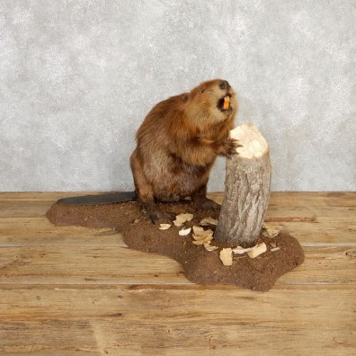 North American Beaver Mount For Sale #20223 @ The Taxidermy Store