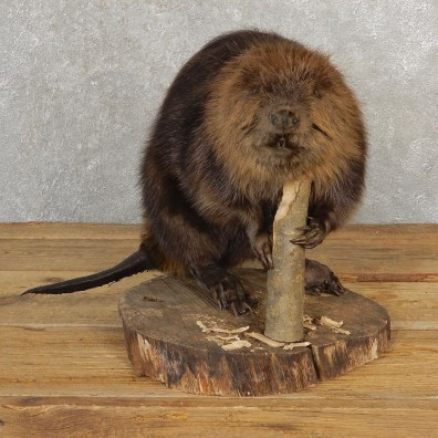North American Beaver Mount For Sale #21118 @ The Taxidermy Store