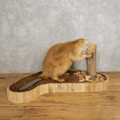 North American Beaver Mount For Sale #21244 @ The Taxidermy Store