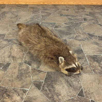 Novelty Raccoon Life-Size Mount For Sale #21301 @ The Taxidermy Store