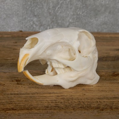 Patagonian Cavy Skull Mount For Sale #19271 @ The Taxidermy Store