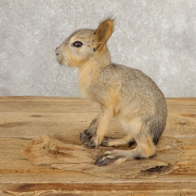 Patagonian Cavy Taxidermy Mount For Sale #21032 @ The Taxidermy Store
