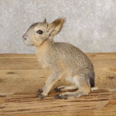 Patagonian Cavy Taxidermy Mount For Sale #21033 @ The Taxidermy Store