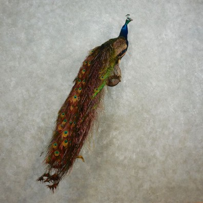 Indian Peacock Bird Mount For Sale #17576 @ The Taxidermy Store
