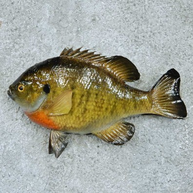 Bluegill Taxidermy Fish Mount #13392 For Sale @ The Taxidermy Store