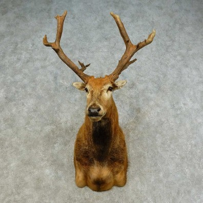 Pere David's Deer Shoulder Mount For Sale #16218 @ The Taxidermy Store