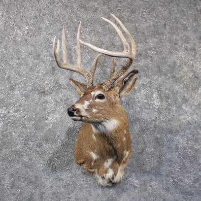 Piebald Whitetail Deer Shoulder Mount #11797 For Sale @ The Taxidermy Store
