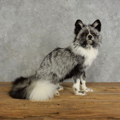 Platinum Fox Life-Size Mount For Sale #17040 @ The Taxidermy Store