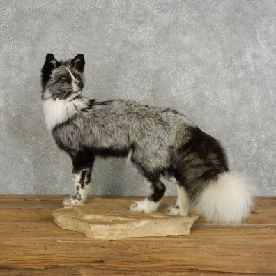 Platinum Fox Life-Size Mount For Sale #17041 @ The Taxidermy Store