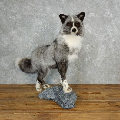 Platinum Fox Life-Size Mount For Sale #17831 @ The Taxidermy Store