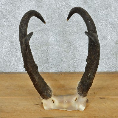 Pronghorn Taxidermy Skullcap & Horns Mount #10796 For Sale @ The Taxidermy Store