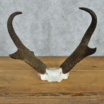 Pronghorn Taxidermy Skullcap & Horns Mount #10800 For Sale @ The Taxidermy Store