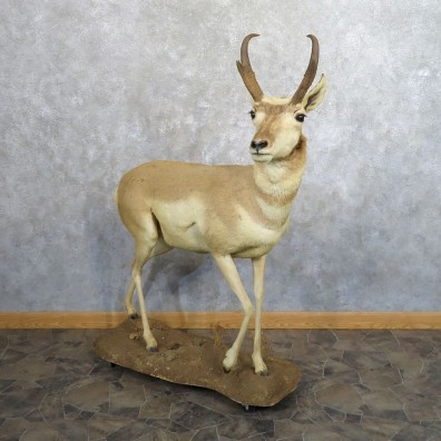 Pronghorn Antelope Life Size Taxidermy Mount For Sale #20493 For Sale @ The Taxidermy Store
