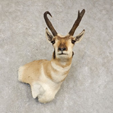 Pronghorn Antelope Shoulder Mount For Sale #21444 @ The Taxidermy-Store