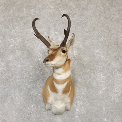 Pronghorn Taxidermy Shoulder Mount #20139 For Sale @ The Taxidermy Store