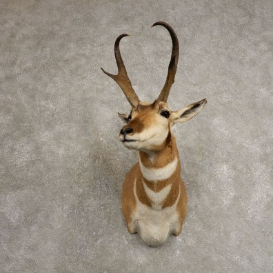 Pronghorn Taxidermy Shoulder Mount #20497 For Sale @ The Taxidermy Store