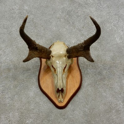 Pronghorn Skull Horns European Mount #17081 For Sale @ The Taxidermy Store