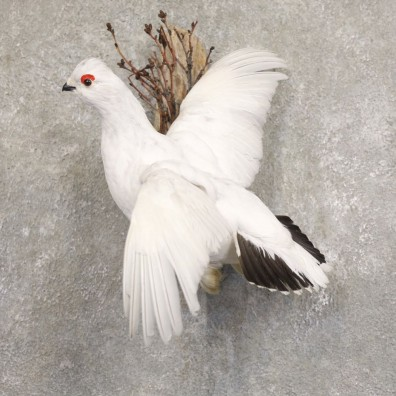 Ptarmigan Mount For Sale #22218 @ The Taxidermy Store