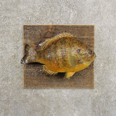Pumpkinseed Sunfish Taxidermy Fish Mount #20940 For Sale @ The Taxidermy Store