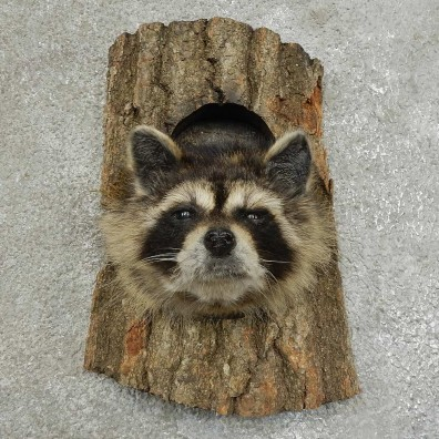 Raccoon Head Novelty Mount For Sale #16861 @ The Taxidermy Store