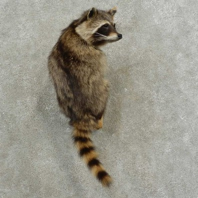 Wall-Hanging Raccoon Mount For Sale #16883 @ The Taxidermy Store