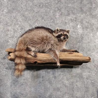 Raccoon Wall Hanging Mount #11504 - The Taxidermy Store