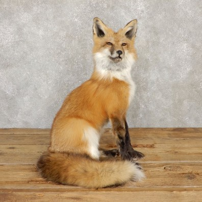 Red Fox Life-Size Mount For Sale #20112 @ The Taxidermy Store