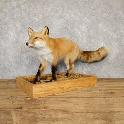 Red Fox Life-Size Mount For Sale #20114 @ The Taxidermy Store