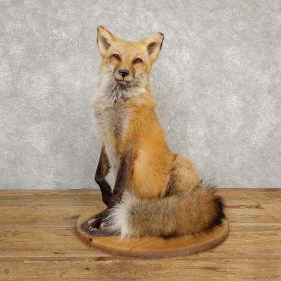 Red Fox Life-Size Mount For Sale #20225 @ The Taxidermy Store