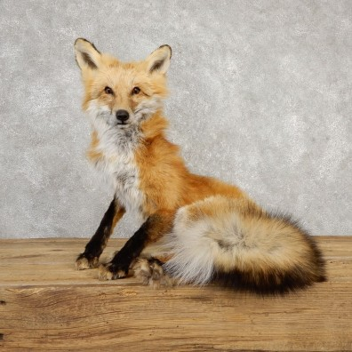 Red Fox Life-Size Mount For Sale #20316 @ The Taxidermy Store