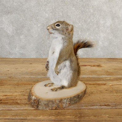 Red Squirrel Life-Size Mount For Sale #20756 @ The Taxidermy Store