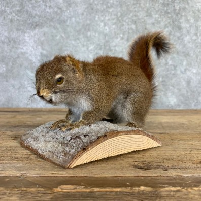 Red Squirrel Life-Size Mount For Sale #21848 @ The Taxidermy Store