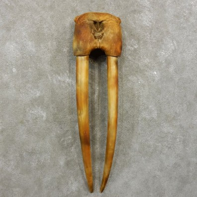 Walrus Replica Skull & Tusks Mount For Sale #17411 @ The Taxidermy Store