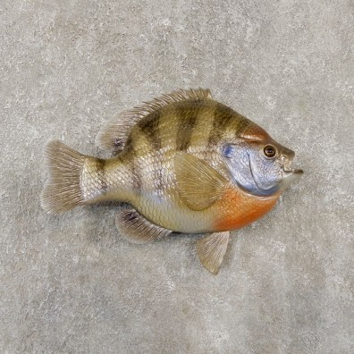Replica Shellcracker Bream Taxidermy Fish Mount #20134 For Sale @ The Taxidermy Store