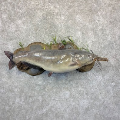 Reproduction Blue Catfish Taxidermy Fish Mount #21622 For Sale @ The Taxidermy Store