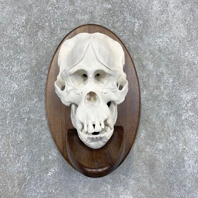 Reproduction Borneo Orangutan Skull Mount For Sale #22590 @ The Taxidermy Store