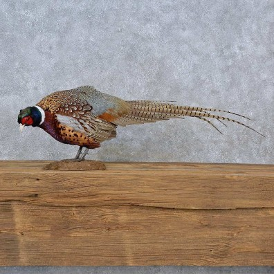 Ringneck Pheasant Life-Size Mount For Sale #15219 @ The Taxidermy Store