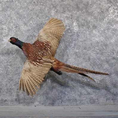 Ringneck Pheasant Bird Mount #11860 - The Taxidermy Store