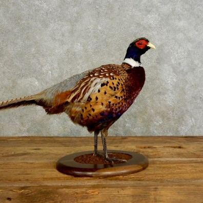 Ringneck Pheasant Bird Mount For Sale #17547 @ The Taxidermy Store