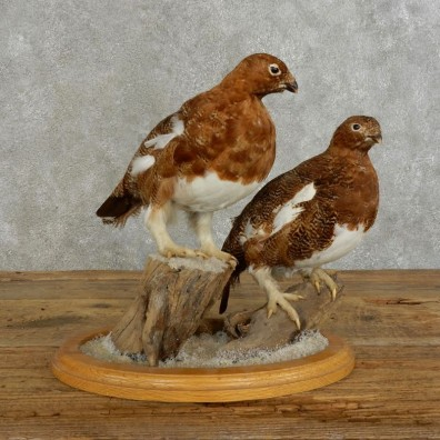 Rock Ptarmigan Bird Mount For Sale #17391 @ The Taxidermy Store