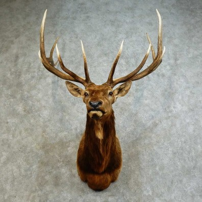 Rocky Mountain Elk Shoulder Mount For Sale #16171 @ The Taxidermy Store
