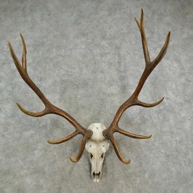 Rocky Mountain Elk Skull European Mount For Sale #16904 @ The Taxidermy Store