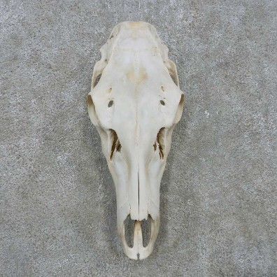 Rocky Mountain Elk Skull For Sale #15159 @ The Taxidermy Store