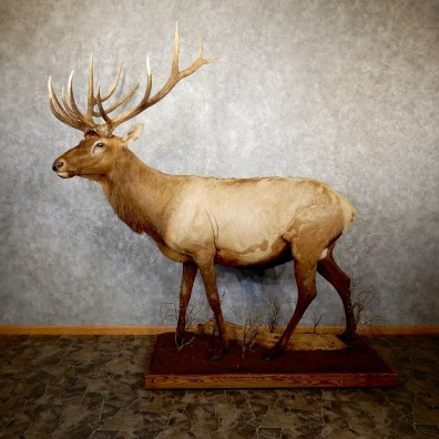 Rocky Mountain Elk Life-Size Mount For Sale #19557 @ The Taxidermy Store