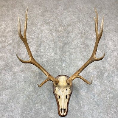 Rocky Mountain Elk Plaque Mount For Sale #22768 @ The Taxidermy Store