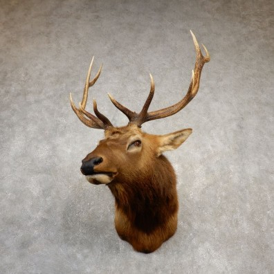 Rocky Mountain Elk Shoulder Mount For Sale #20532 @ The Taxidermy Store